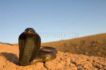 Egyptian Cobra surprised in a stone desert Morocco