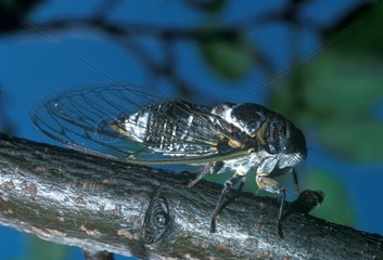 Andalusian cicada posed on a branch France