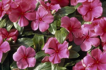 New nuance of pink for a Periwinkle California the USA