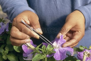 Cut anther to avoid autopollination the USA