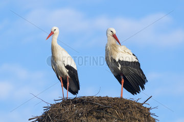 White Storks (Ciconia ciconia) on Nest  Hesse  Germany  Europe