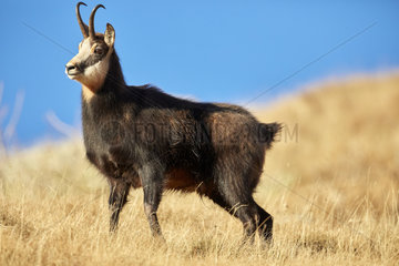 Alpine Chamois (Rupicapra rupicapra)  rutting period in November  Mercantour  Alpes  France