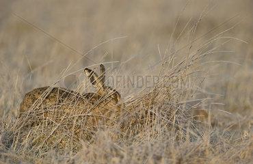 Brown Hare hidden in a frozen meadow - GB
