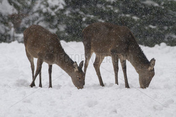 Red Deer hinds in the snow - Vosges France