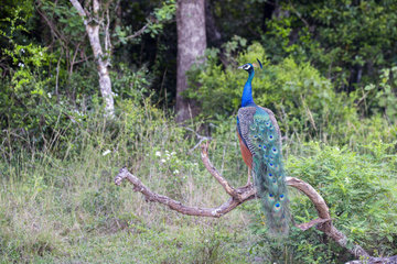 Indian Peafowl or Blue Peafowl (Pavo cristatus)  male  Wilpattu national patk  Northwest Coast of Sri Lanka