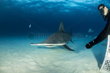Scuba diver hand feeding a great hammerhead shark (Sphyrna mokarran) swimming over a sandy seabed  South Bimini  Bahamas. The Bahamas National Shark Sanctuary  West Atlantic Ocean.