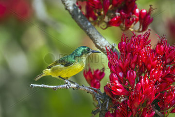 Collared Sunbird (Hedydipna collaris) on a branch  Kruger National park  South Africa
