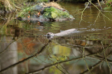 River otter (Lutra lutra) male swimming in a stream  Bayerischer Wald  Bavaria  Germany