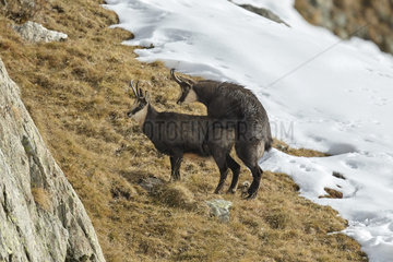 Chamois mating in autumn - Mercantour France