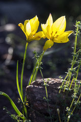 Wild Tulip (Tulipa sylvestris) In bloom in spring  Plaine des Maures surroundings of Vidauban  Var 83  France