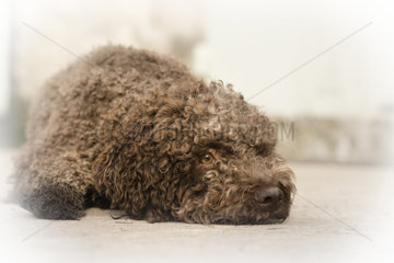 Domestic Dog  Lagotto Romagnolo  adult  close-up of head  Provence  France