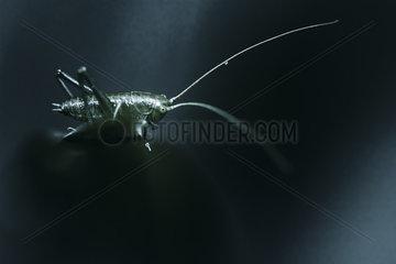 Great Green Bush Cricket larva in blue chiaroscuro