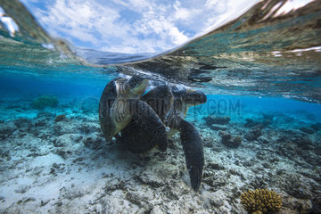 Green turtle (Chelonia mydas) mating  Indian Ocean  Mayotte