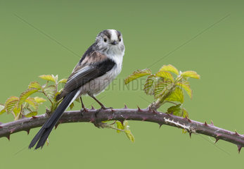 Long-tailed tit (Aegithalos caudatus) Tit perched on a blackberrie branch  England Spring