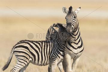 Burchell's zebra (Equus Burchellii)  cuddle between adult and cub  Namibia  Etosha national Park