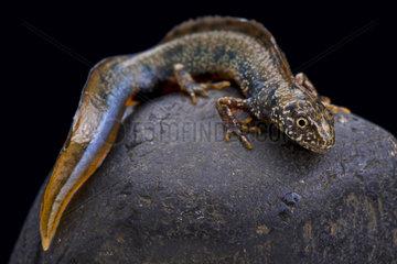 Danube newt (Triturus dobrogicus) male on rock on black background