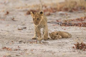 Lion (Panthera leo)  2 young cub  Namibia  Etosha national Park