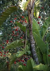 Coral tree and Bird of paradise