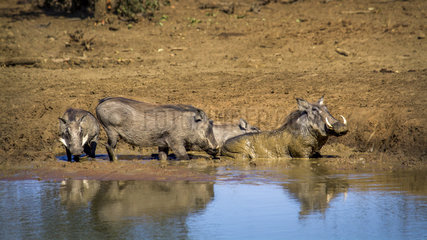 Common warthog (Phacochoerus africanus) in water  Kruger National park  South Africa