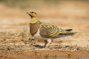 Male Pin-tailed Sandgrouse on dry mud at spring - Spain
