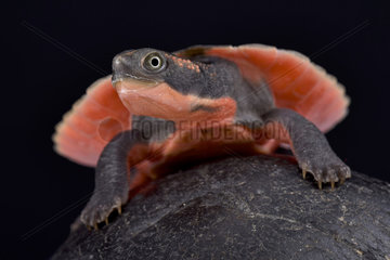 Pink-bellied turtle (Elseya schultzei) young on black background