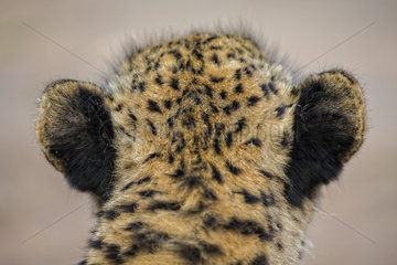 Cheetah Acinonyx jubatus) is on the lookout for a prey  South Africa