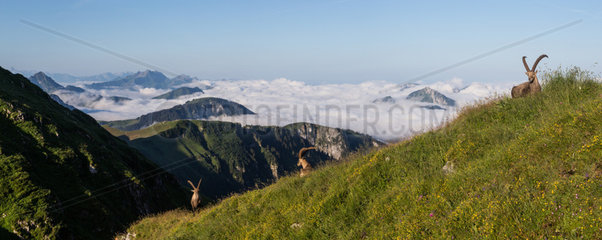 Group of alpine ibexes (Capra ibex) grouped for the summer  above the sea of clouds  Chablais mountains  Alps  France