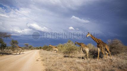 Giraffe (Giraffa camelopardalis) crossing a track  Kruger National Park  South Africa