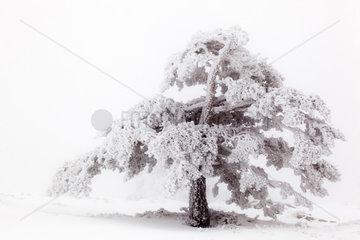 Scots pine in winter - PN Guadarrama Spain