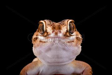 South African Ground Gecko 5Chondrodactylus angulifer angulifer°  Namibia