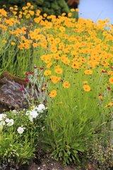 Coreopsis et Coquelourde des jardins dans une rocaille