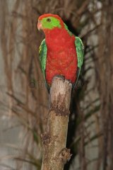 Hybrid Parrot male on a trunk