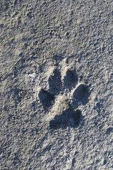 Wolves track  Wrangel island  Russia