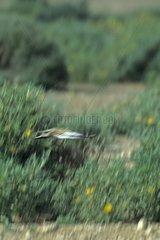 Hoopoe Lark male courtship Guelmin area Morocco