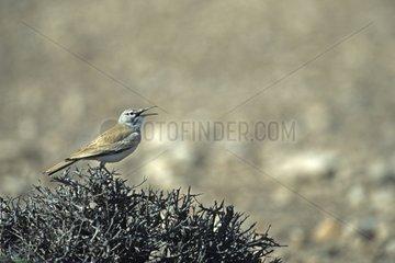 Greater Hoopoe Lark male courtship Guelmin area Morocco