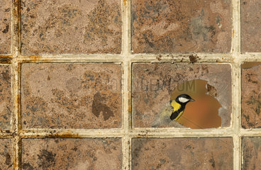 Great tit (Parus major) Great tit perched on an old window  England  Autumn