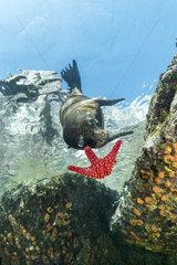 California sea lion  (Zalophus californianus)  playing with seastar  Los Islotes  Sea of Cortez  Baja California  Mexico  East Pacific Ocean