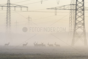 Herd of Fallow Deers (Cervus dama) in Front of High-Voltage Power Line on misty morning  Hesse  Germany  Europe