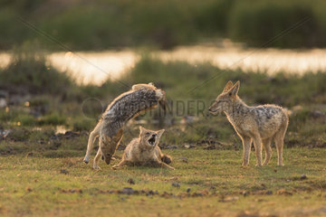 Black-Backed Jackal (Canis Mesomelas) playing at the waterhole at sunrise time