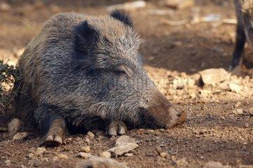 Wild Boar lying in the earth Franche-Comté France