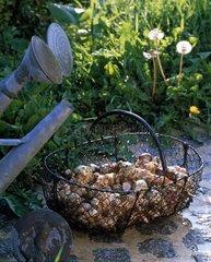 Harvest of Girasole in basket