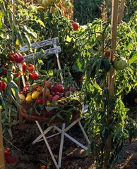 Different varieties of tomatoes in a vegetable garden