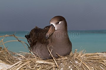 Black footed Albatross brooding Sand Island Hawai