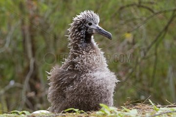 Black footed Albatross chick Sand Island Hawai