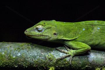 Portrait of Neotropical Green Anole (Anolis biporcatus) sleepy  Chocó colombiano  Ecuador