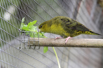 Catherine parakeet (Bolborhynchus lineola)  male dark green double factor