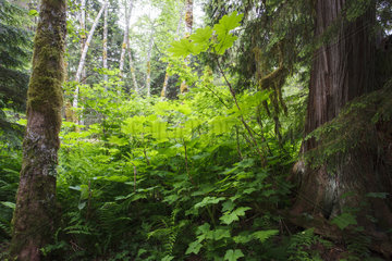 Temperate Rainforest - Lakelse British Columbia Canada