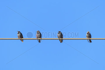 Starlings on wire  Sturnus vulgaris  Hesse  Germany  Europe