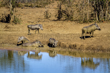 Common warthog (Phacochoerus africanus) on bank  Kruger National park  South Africa