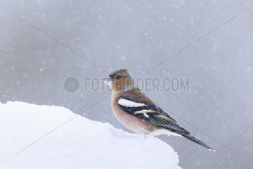 Chaffinch (Fringilla coelebs) standing on the ground under a snow shower  Alsace  France